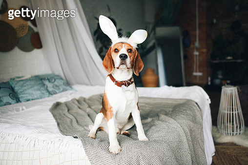 A beagle dog is sitting on the bed with cute bunny ears. - gettyimageskorea
