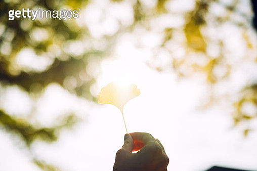 Woman's hand holding a yellow gingko leaf towards the sunlight - gettyimageskorea
