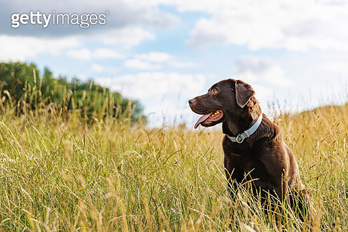 Portrait of a chocolate Labrador in the countryside - gettyimageskorea