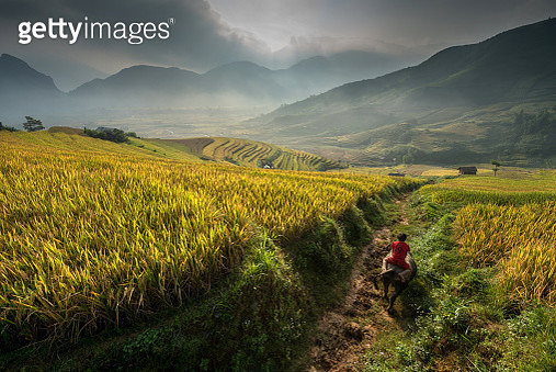 A person riding a cow. - gettyimageskorea