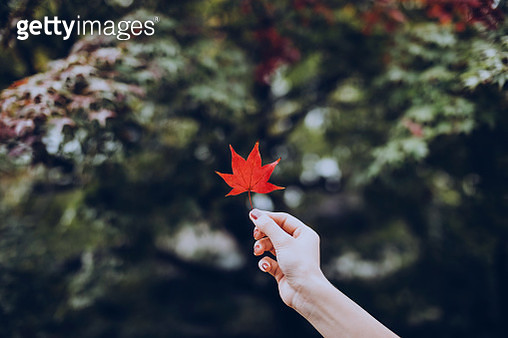 Woman's hand holding a red maple leaf in park - gettyimageskorea