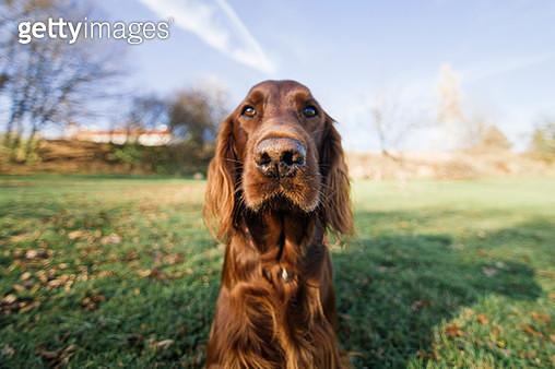 Irish setter outdoor portrait - gettyimageskorea