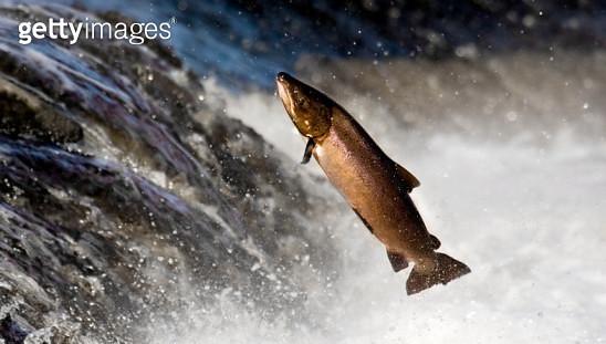 Salmon leaping rapids - gettyimageskorea