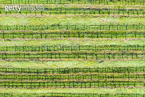 Patterns from the Sky - vineyard field Aerial photograph, symmetry, patterns - gettyimageskorea