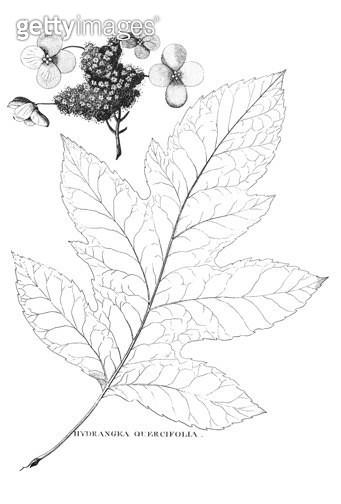 BARTRAM: HYDRANGEA, 1791. /nHydrangea quercifolia. Copper engraving from William Bartram's 'Travels Through North & South Carolina, Gerogia, East & West Florida,' 1791. - gettyimageskorea