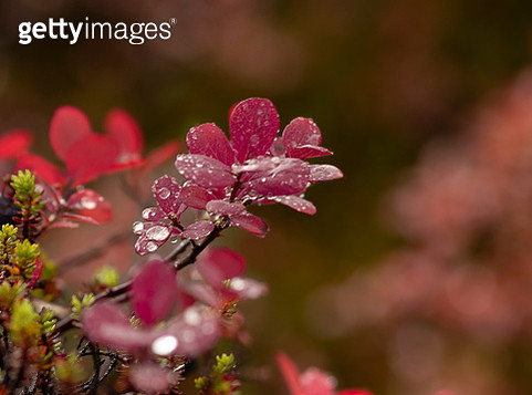 Close-Up Of Raindrops On Pink Flowering Plant - gettyimageskorea
