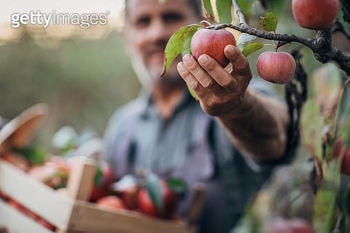 Man in apple orchard - gettyimageskorea