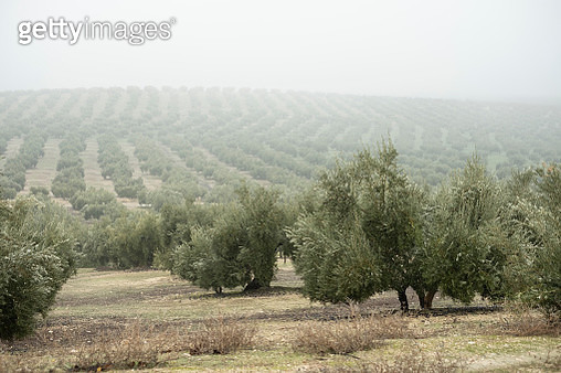 Black olives plantation. Olive grove landscape in Jaen on a rainy and foggy day. Olive fruit and olive oil production landscape. - gettyimageskorea