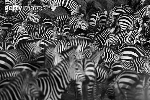 Zebra herd waiting on the bank of the Mara river, Kenya - gettyimageskorea