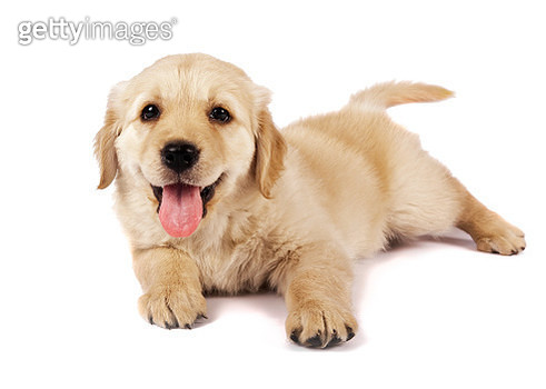 Portrait Of Puppy Sitting Against White Background - gettyimageskorea