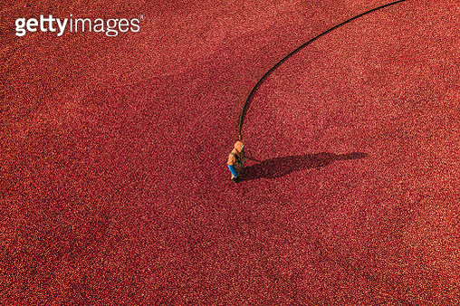 Person working in a cranberry bog, Massachusetts, United States of America - gettyimageskorea