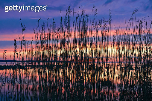 Water reed in evening light, Lahemaa Nationalpark, Estonia - gettyimageskorea