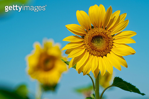 Close-up of two sunflowers in a field, East Frisia, Lower Saxony, Germany - gettyimageskorea
