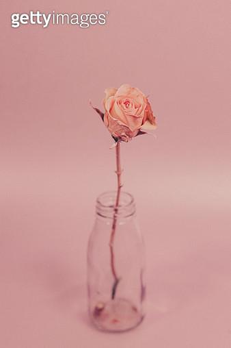 Close-Up Of Rose In Bottle Over Pink Background - gettyimageskorea