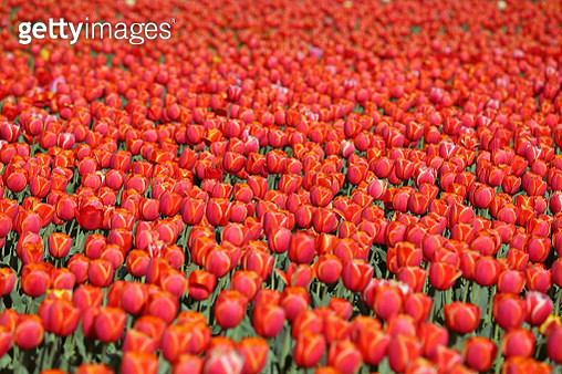 Close up of red tulips field in Netherlands - gettyimageskorea