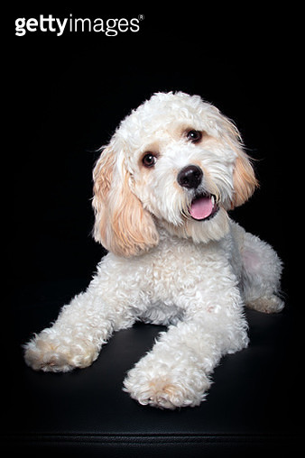 Portrait of Cavalier King Charles Spaniel/Poodle mix puppy looking at the camera sitting in front of a black backdrop - gettyimageskorea