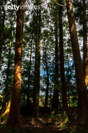 Cryptomeria japonica trees in the path of the Mistérios Negros (Black Mysteries) in Terceira, Azores Islands, Portugal - gettyimageskorea