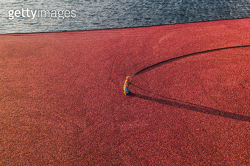 Drone perspective of a single cranberry worker, Massachusetts, United States of America - gettyimageskorea
