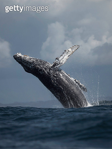 A humpback whale breaches in Monterey Bay, California. - gettyimageskorea
