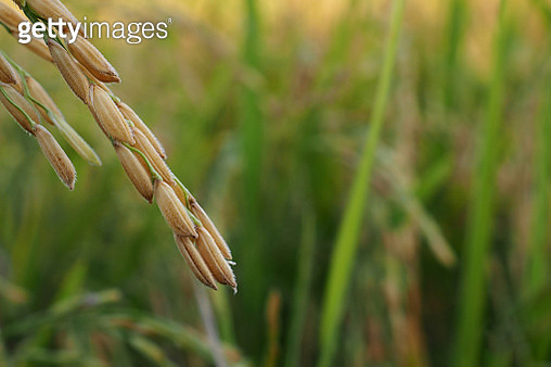 Close-Up Of Wheat Growing On Farm - gettyimageskorea