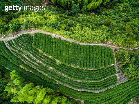 AERIAL shot of Tea fields /Fujian, China - gettyimageskorea