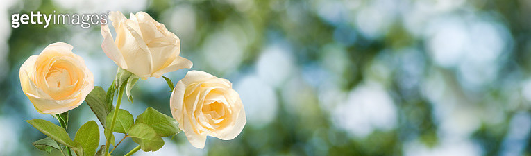 image of flowers roses close up - gettyimageskorea