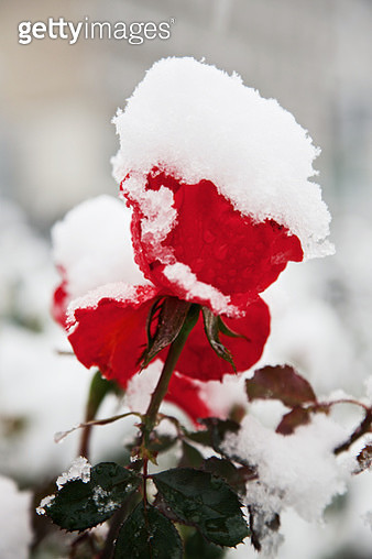 Red rose covered with snow - gettyimageskorea