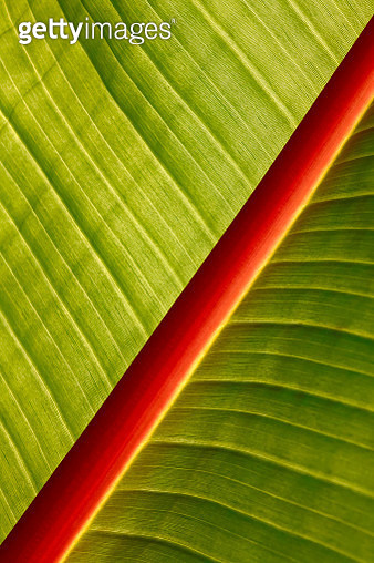 Macro of banana leaf - gettyimageskorea