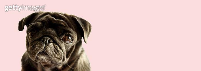 Banner of cute dog puppy black pug breed on light pink sweet color background. Purebred pug dog concept - gettyimageskorea