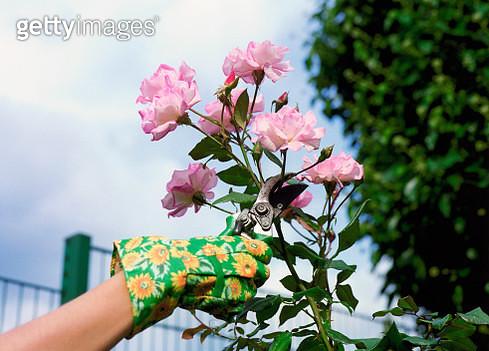 Woman Pruning Roses - gettyimageskorea