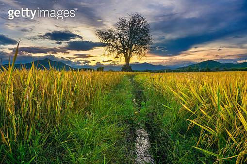 Sunset over rice field - gettyimageskorea