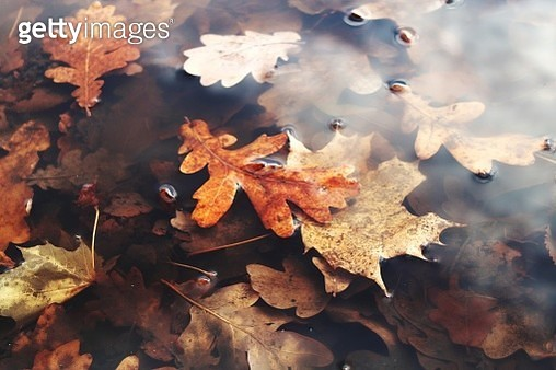 Close-Up Of Maple Leaves Floating On Water - gettyimageskorea