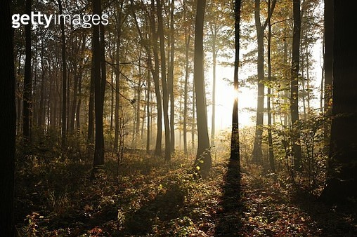 Autumn Forest Lit By Morning Sun - gettyimageskorea