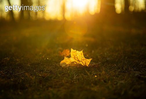 Sunset on Golden Autumn Leaf - gettyimageskorea