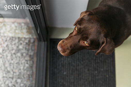 Cute chocolate Labrador waiting by the back door - gettyimageskorea