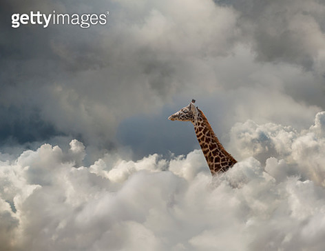 A giraffe pokes his head up through the cloud bank in an image about visibility and cloud computing. - gettyimageskorea