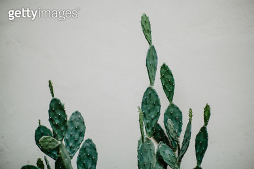 Cactus on white wall - gettyimageskorea