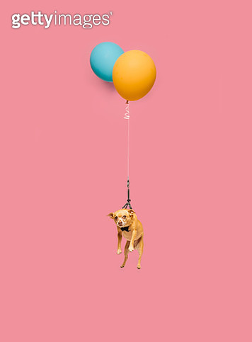 Studio photograph of Cute dog tied to a balloon and floating. - gettyimageskorea