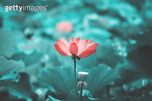 Close up of Lotus flower and green leaves in the pond . - gettyimageskorea