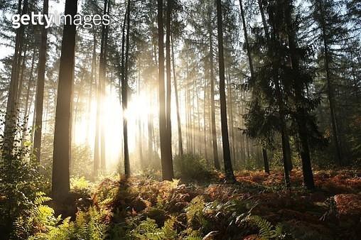 Misty Autumn Coniferous Forest At Dawn - gettyimageskorea