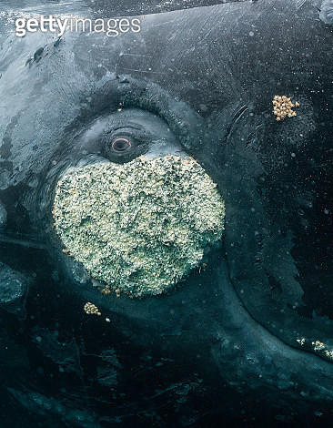 Close up view of the eye of a southern right whale resting on it's back at the water's surface, Puerto Piramides, Argentina. - gettyimageskorea