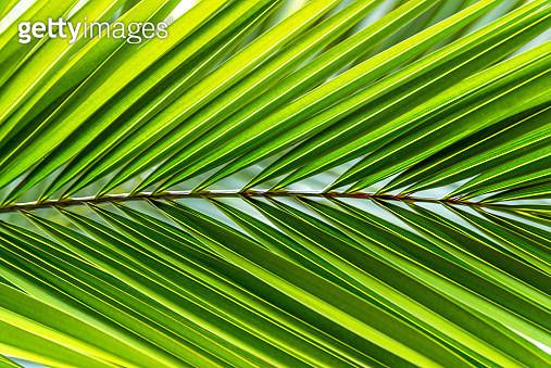 Big palm leaf - gettyimageskorea