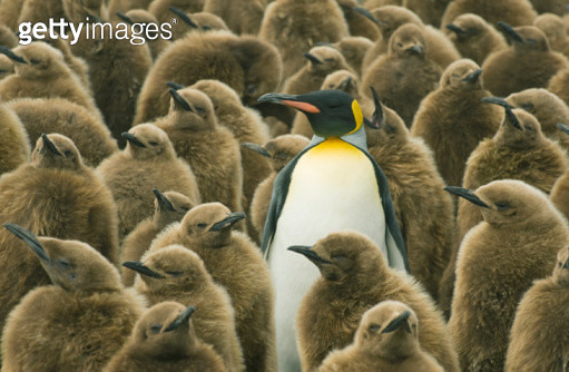 King Penguins (Aptenodytes patagonicus) Adult with chicks, South Georgia Island - gettyimageskorea