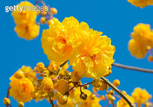 Low Angle View Of Yellow Flowering Plants Against Blue Sky - gettyimageskorea