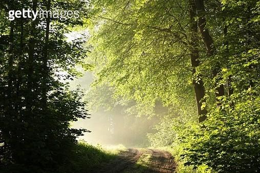 Spring Forest During Sunrise - gettyimageskorea