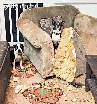 Portrait mischievous Boston Terriers caught chewing furniture cushion - gettyimageskorea
