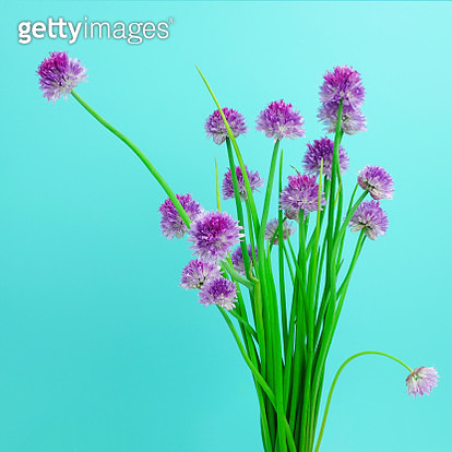 Still life arrangement of purple chive blossoms on a teal background. - gettyimageskorea