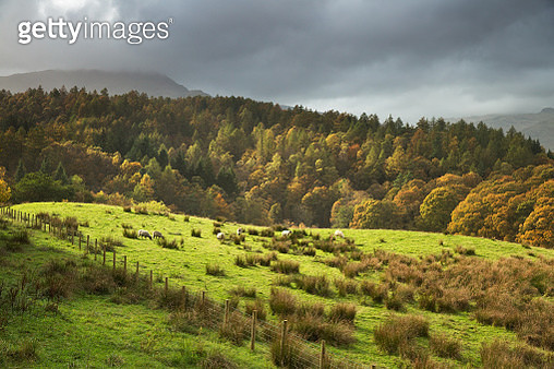 An autumn sunset, with sheep grazing on the hillside in lake district, Cumbria, England. - gettyimageskorea