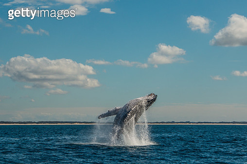 A large humpback whale executing a breach movement. Out of the water, pectoral fins visible. The water is dark blue. the sky is blue. There are some clouds in the sky. There is some water being splashed about. the horizon is over the water. The water is s - gettyimageskorea