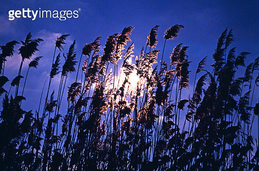 Reeds at sunset in Central Anatolia, Turkey - gettyimageskorea